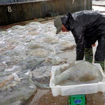 Mùa cao điểm chế biến sứa biển xuất khẩu